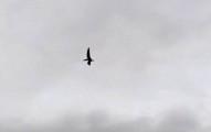 他意外拍到這隻飛在天空的遠古恐怖生物「翼龍」...這樣的飛行模式絕對不是鳥!