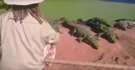 飼育員將雞肉丟進鱷魚群之後,突然間其中一隻鱷魚的前腳就被扯斷了...