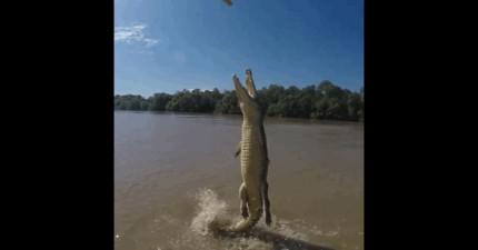 現代鱷魚已經進化到可以飛了,看了這隻影片後我就發現人類要滅亡了...