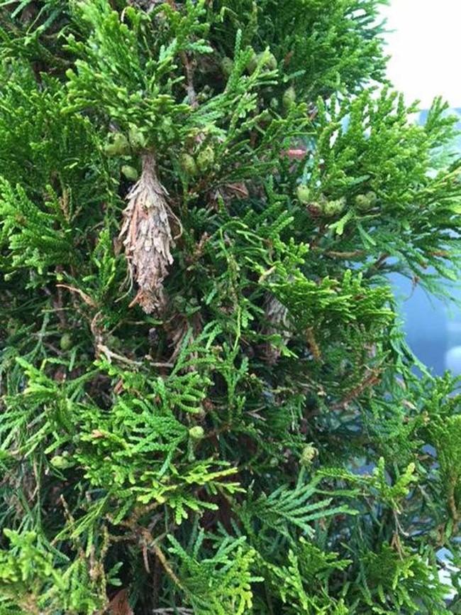 若你家樹木出現了這些「小果實」就要當心了,因為有噩夢會從裡頭爬出來...