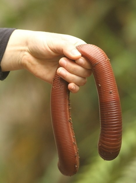 And everything is bigger in Australia. This is not a garden hose, it's an earthworm. An earthworm! Sure, it's not dangerous, but it is giant.