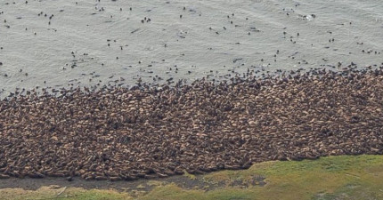 乍看上千隻的海象群聚景象很壯觀,但背後其實是每個人類都該負責的悲劇。
