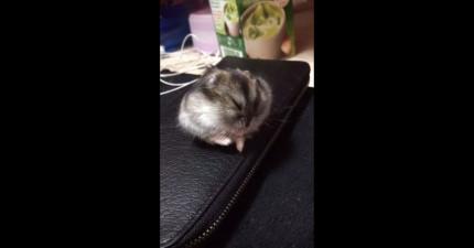 這支小倉鼠影片只有4秒,但很有可能會讓你的一天變得更美好!