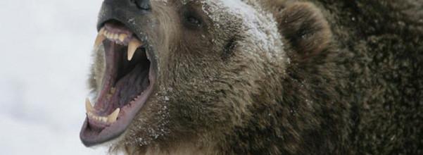 大灰熊正面交鋒