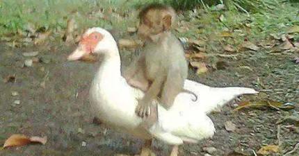 當這隻鴨子聽到好友小猴子傳來慘叫時,他犧牲性命上前做出「連人類都辦不到」的感人義舉!