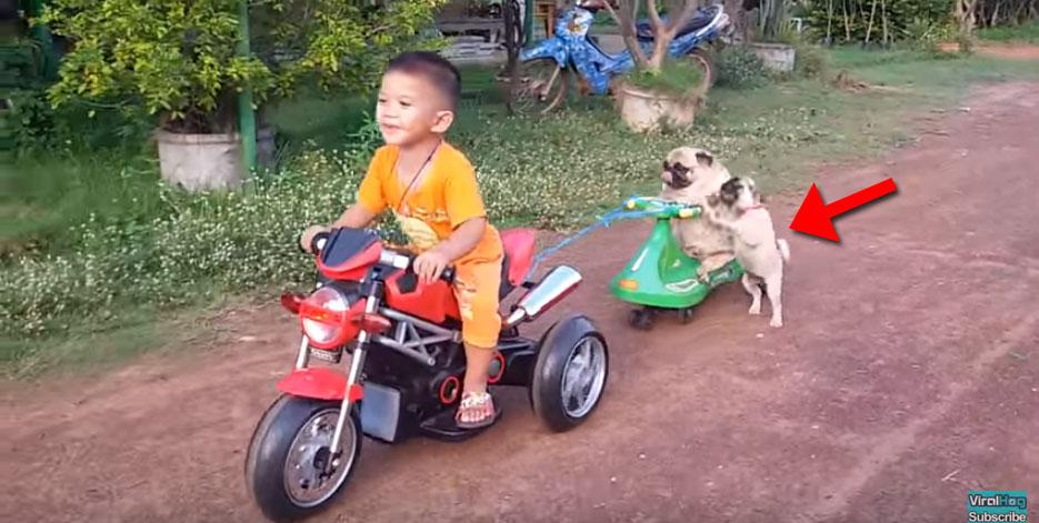 他們沒有留多餘的空間給後面的小胖巴哥狗,他發飆超想要成為乘客的模樣會讓你噴笑!