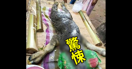 泰國部落誕生了這隻「牛和鱷魚混血」的奇異生物,連村民都要拿香來祭祀了!