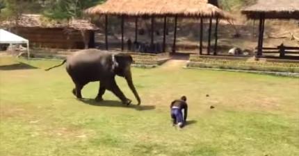 大象飼養員突然倒地,接著大象衝過來的行為會讓你超級感動!