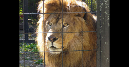 他女友的媽媽給他一個難題請他把獅子前面的籠子給PS掉。女友媽媽到最後應該沒話說了吧?