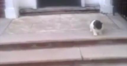 這隻小小狗想下樓梯找主人卻不敢跳,情急想出的「最不合邏輯方法」會讓你笑到很開心!