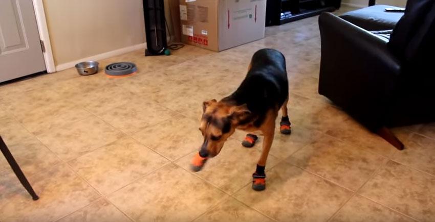 主人原本是為了要保護狗狗的腳就為他穿上鞋子,但沒想到狗狗一穿上就完全當機會讓你忍不住笑出來!