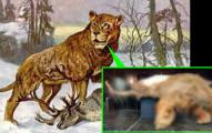 一直以來學者只能從化石猜測「史上體型最大的獅子」的長相,如今他們終於在冰層中挖到完整遺體了!