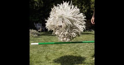 這不是一個掃把,這隻叫做「野獸」的狗狗是一隻比你有錢一億倍的富豪狗狗!