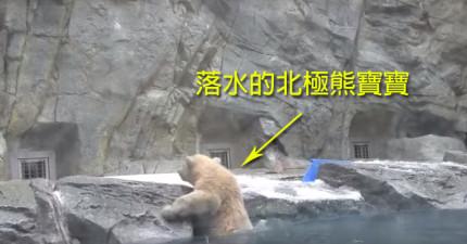 還沒學會游泳的北極熊寶寶一落水,熊媽媽的第一個反應會讓你忍不住打回家跟媽咪說聲「愛你」!
