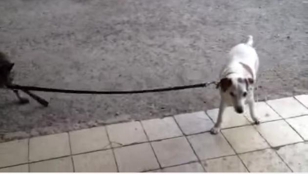 這隻狗狗被一個非常不尋常的對象遛狗,謎底揭曉時...人類也快要被攻陷了。