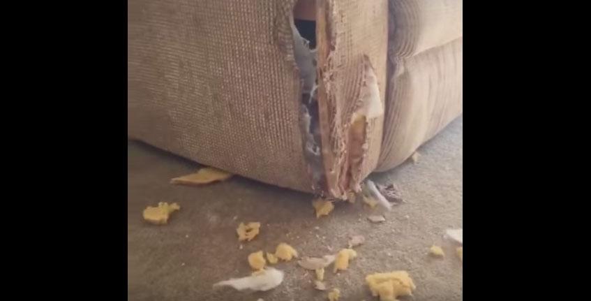 主人回家時發現到狗狗把沙發給咬爛了,但當一看到他的臉之後他就笑到快叫救護車了!