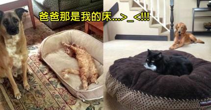 17隻床被貓咪搶走有苦說不出的「表情超委屈」狗狗。