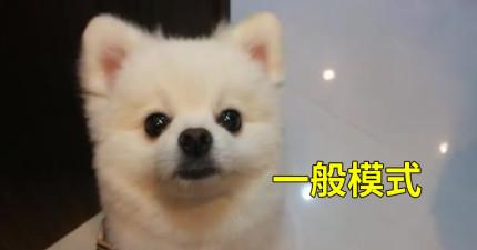 這隻狗狗在平常時就很可愛了,但在挨罵時「切換物種的模樣」才真的萌死人不償命啊!