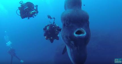 他們在潛水的時候巧遇到一條超巨型的「翻車魚」!看到側面覺得真的太驚人了!