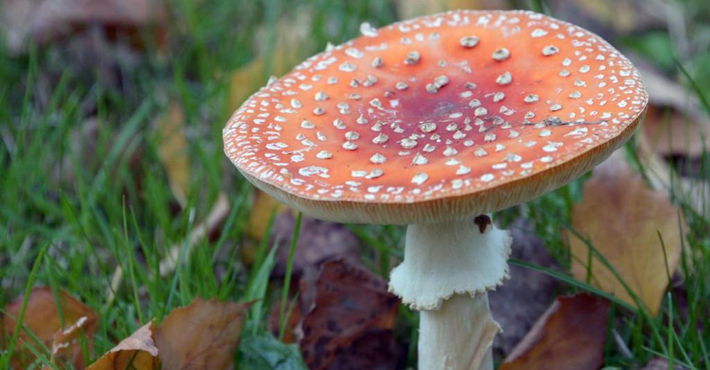 學者發現這種生長在夏威夷火山地帶的蘑菇,竟然擁有「讓女性一聞就高潮」的驚人氣味?!