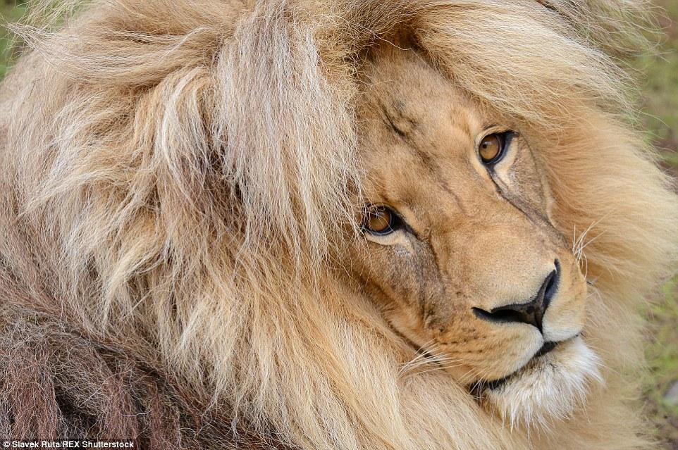 這間動物園最近遊客開始爆滿,原來都是為了一睹這頭「中分秀髮超飄逸」的美男獅子!