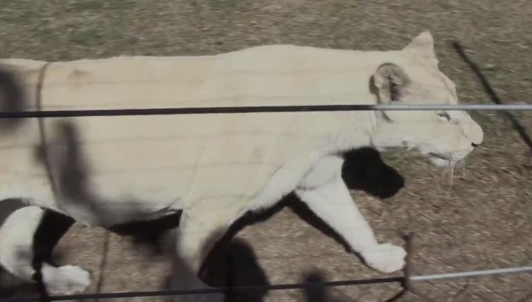 這隻累壞的獅子媽媽一直不停的生下獅子寶寶,就是為了讓人可以把他們給射死。