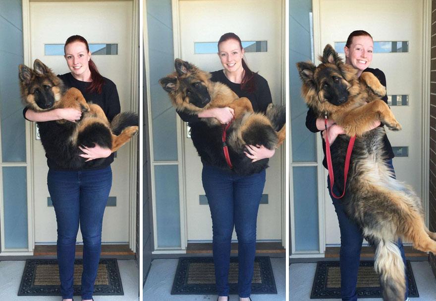 german-shepherd-photo-series-nine-month-alex-dennison-ashley-lewis-13