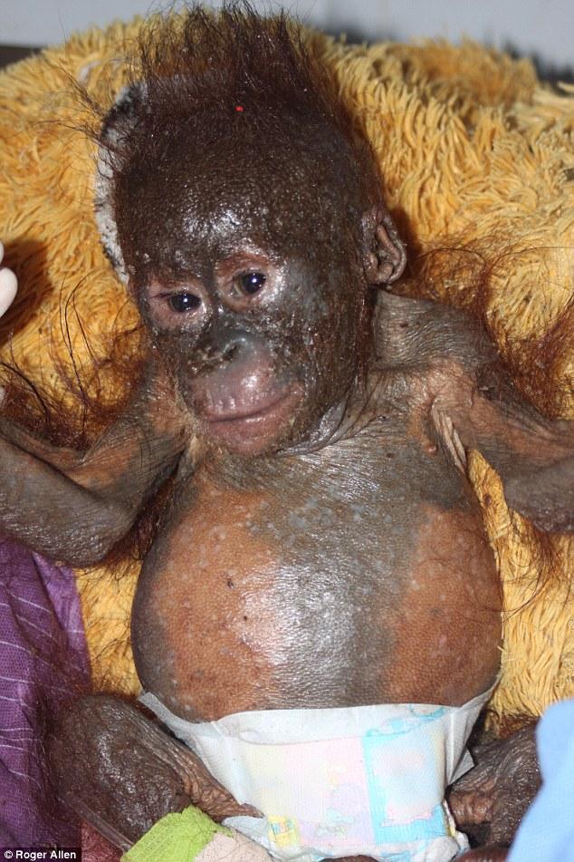 「今年初,大家看到budi红毛猩猩的救助故事后就捐助了不少钱,我们希望图片