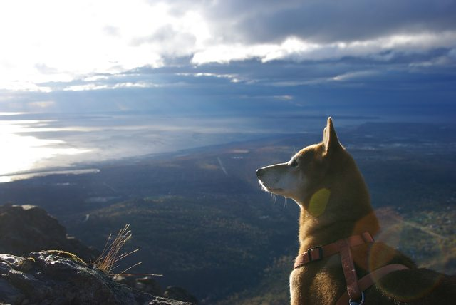 My shiba inu and I live in Alaska. Here he is on a walk today acting majestic overlooking the Pacific Ocean. [OC]