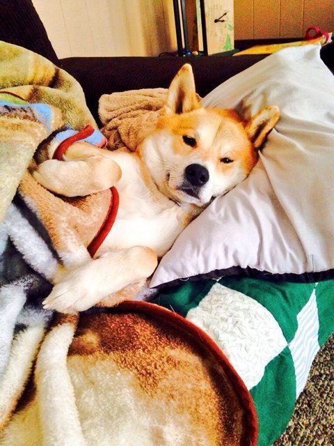 This is Duke. My Shiba Inu.