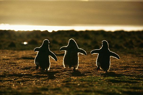 Penguins Chicks