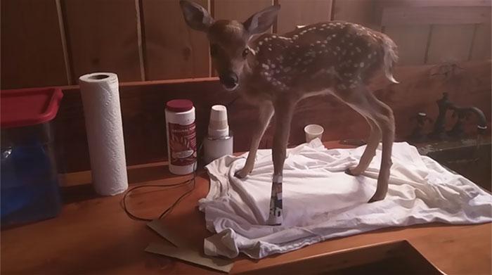 他希望把他拯救的受傷小鹿放生,但想要報恩的小鹿不肯離去的反應真的太令人感動了!