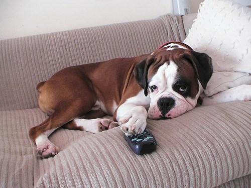 很多主人發現到家裡狗狗到這近幾年才忽然開始喜歡看電視,原因真的太有趣了!