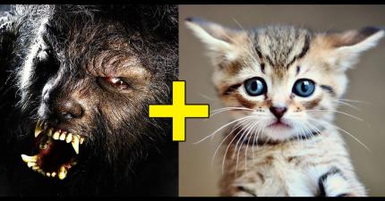 這種一隻要價5萬以上的超稀有「狼貓」乍看很恐怖,而且性格跟狗比較像?!