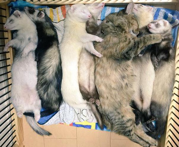 rescue-kitten-komari-ferret-brothers-64