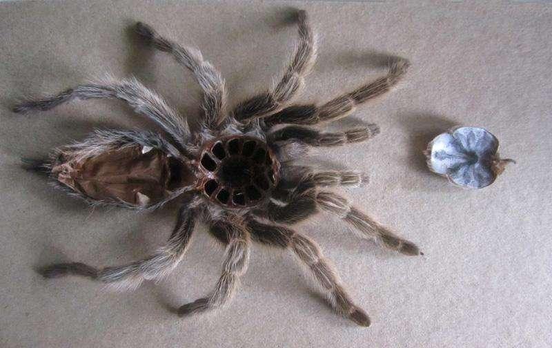 this-shed-tarantula-skin-photo-u1