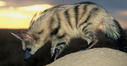 從側面一看像是《獅子王》裡最狡猾的鬣狗,看正面可愛度破表了啦!