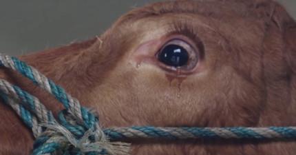 這隻心中充滿恐懼的牛一直流眼淚,她沒想到是要去牛牛天堂!