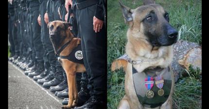 如果不是因為這名警犬「迪索」英勇犧牲性命的話,幾十個法國警察可能今早就已經被炸死了!
