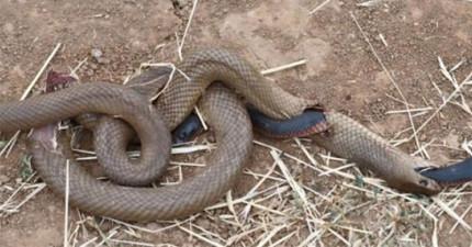 蛇吃蛇是很正常的事,但這張照片中「特別奇怪」的地方讓很多人都很吃驚!