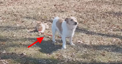 這隻貓咪想要讓狗狗奴才知道誰是老大,看看他拿著狗繩的超跩舉動!