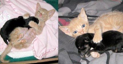 這隻超小隻的孤兒貓咪還以為自己很大隻居然跑去領養比他更小隻的吉娃娃!他們每天抱抱的照片已經萌炸了!