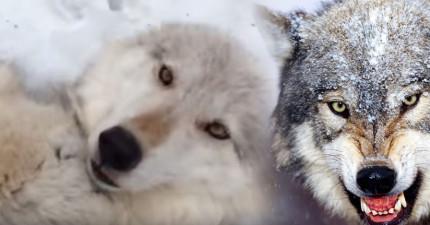 他們在山裡遇到一隻超大隻的野狼,結果會讓你超嫉妒的事情就發生了!