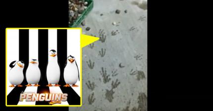 這名動物園管理員不知道腳印從何而來,但多走一點才發現到原來企鵝正在上演《馬達加斯加》中的逃跑妙計啊!