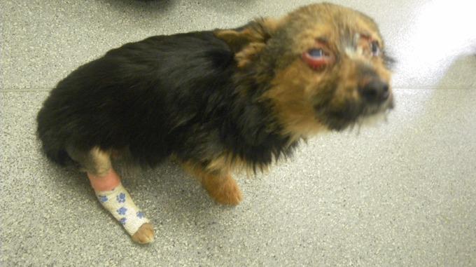 吉娃娃被偷走後「打斷脖子、腿、還被燒」,人靠近時他被嚇壞了!