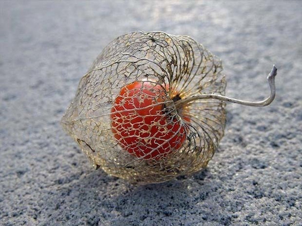 A Chinese lantern, a flower that blooms in winter and dries out during spring.