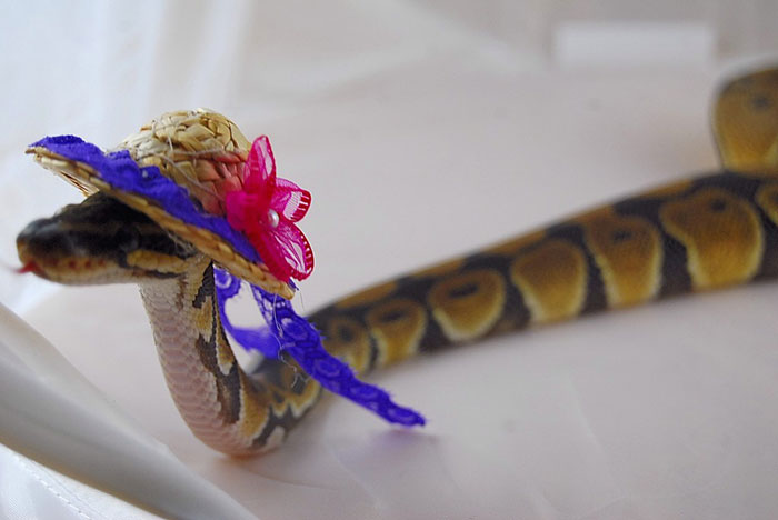 Snake In A Hat