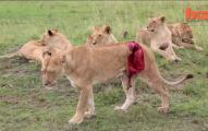 他們遇到了這隻血肉模糊受傷的母獅子就往她開了一槍,接下來就變成了最感人奇蹟!