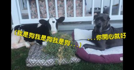 他外出時忘記關門,回家發現沙發躺著一隻「以為自己是狗」的牛。