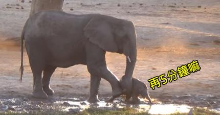 影片中象寶寶一直想要玩水但媽媽覺得該回去讀書了,媽媽的驚人舉動證明他們跟人類根本是同一種生物!